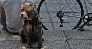 perro raza Pitbull (Foto: Cuartoscuro)