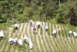 Producción de hoja de coca en Chulumani, La Paz. Foto: Archivo