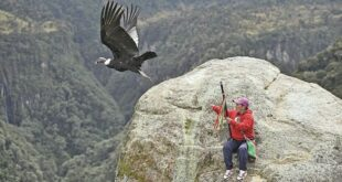 Un hombre junto a un cóndor andino (Vultur gryphus) en el Parque Nacional Natural Purace. Fotos: AFP